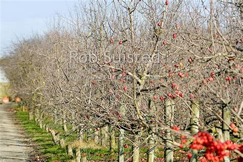 Apple trees in apple orchard