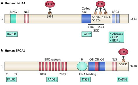   BRCA1 and BRCA2 functional domains