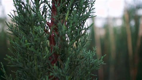 Cupressus sempervirens Stricta Group - Big Heart Tree Care