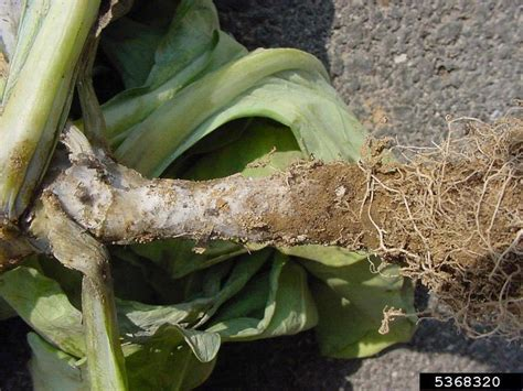 Phytophthora root and stem rot (Phytophthora drechsleri