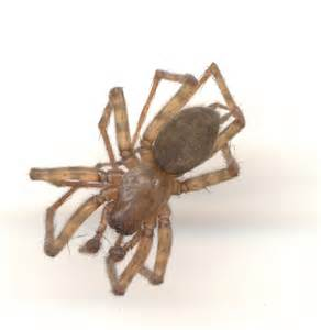 Am I a Brown Recluse? - Coras - BugGuide