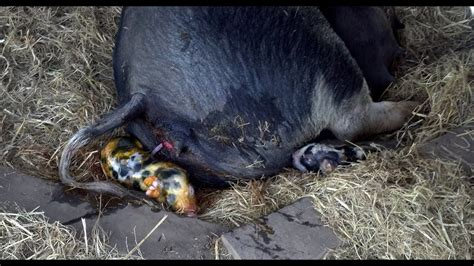 Baby Pigs - Piglets Looking for Milk - Sow giving birth