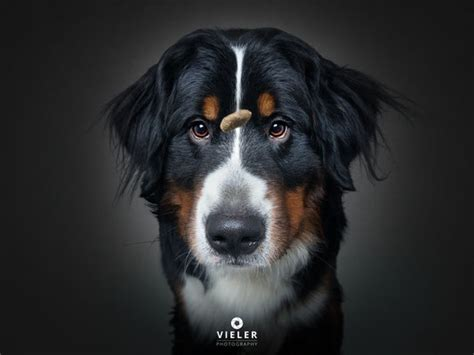 Snapshots - Dogs Catching Treats - Vieler Photography