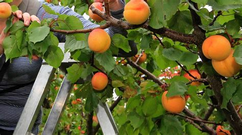 Hawke's Bay stone fruit production down after spring
