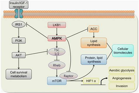 Metabolic Roles of AMPK and Metformin in Cancer Cells